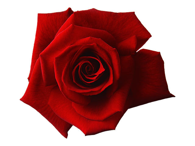 Rose Rouge - St-Valentin